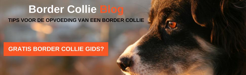 Border Collie Blog