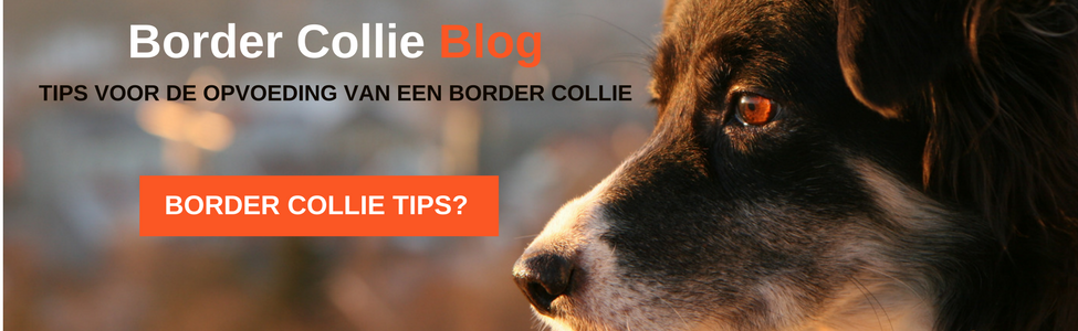 Border Collie Blog
